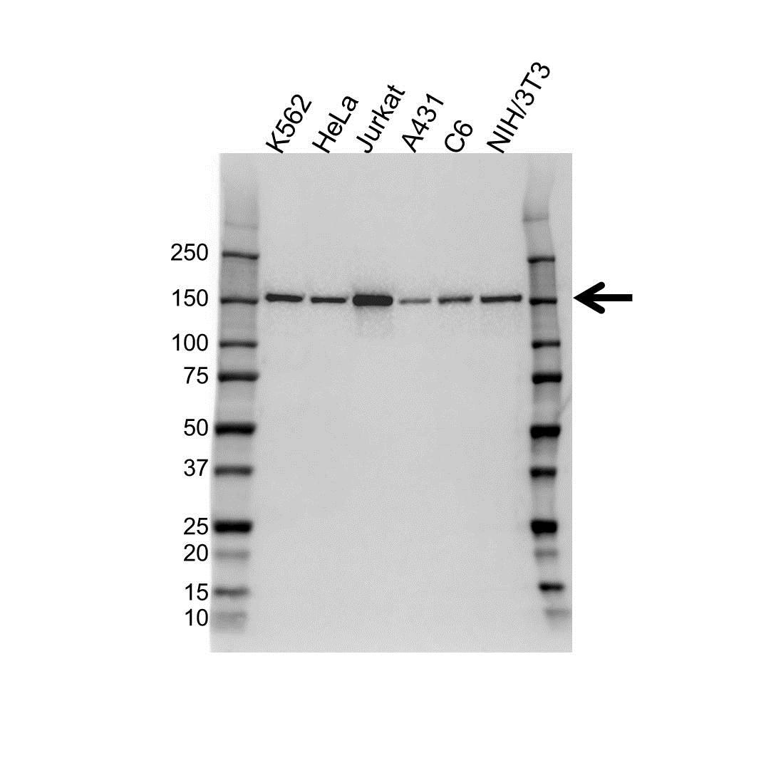 Anti Plc GAMMA-1 Antibody (PrecisionAb™ Monoclonal Antibody) gallery image 1