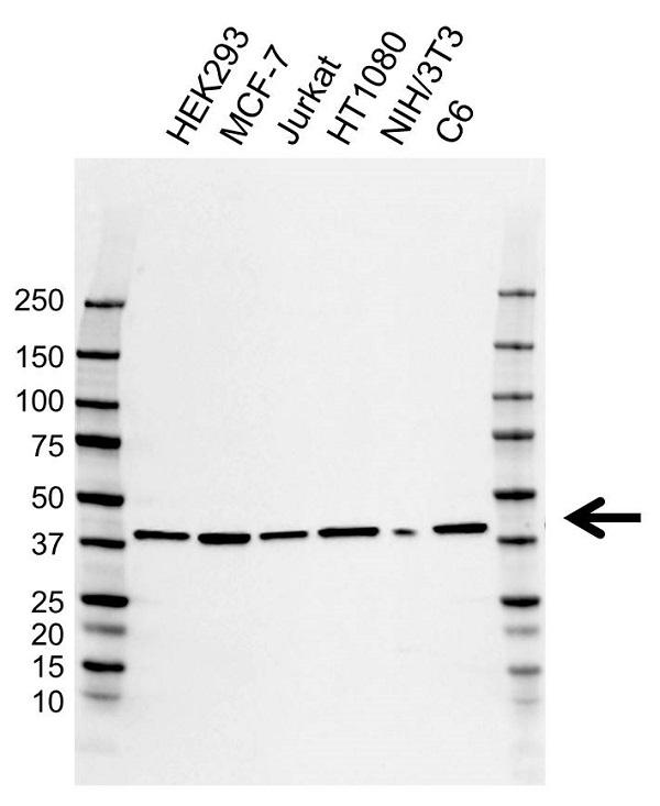 Anti Podoplanin Antibody, clone AB01/1B6 (PrecisionAb Monoclonal Antibody) gallery image 1