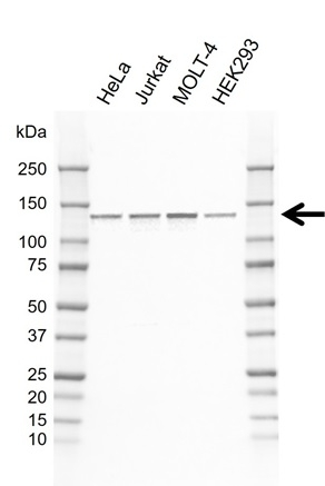 Anti POLD1 Antibody, clone CD02/4G2 (PrecisionAb Monoclonal Antibody) thumbnail image 1