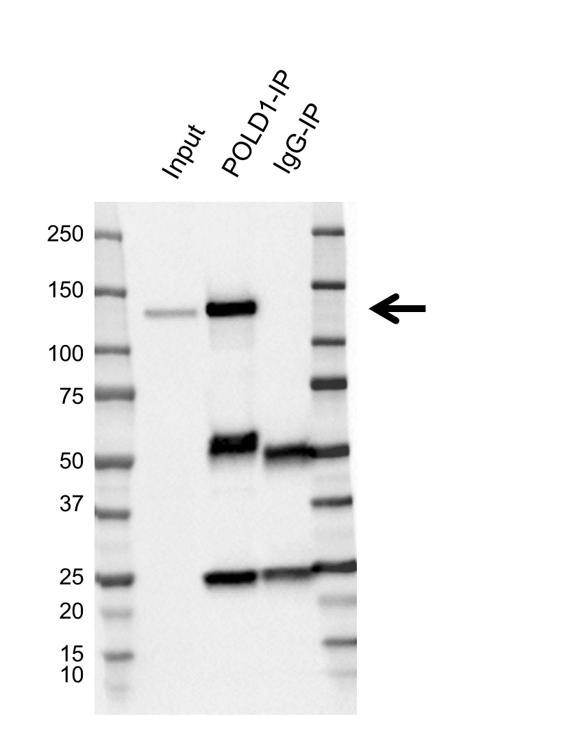 Anti POLD1 Antibody, clone CD02/4G2 (PrecisionAb Monoclonal Antibody) thumbnail image 2