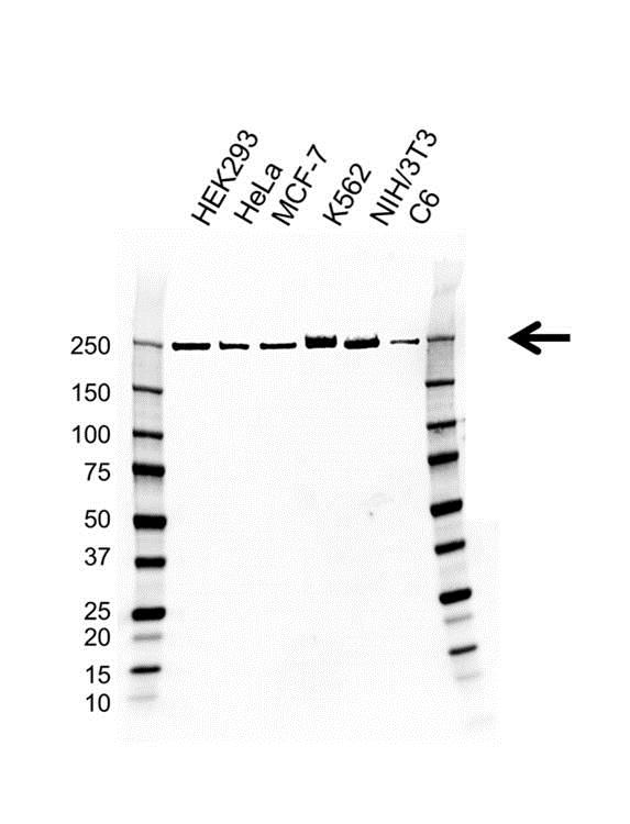 Anti POLR2A Antibody, clone AB01/3D9 (PrecisionAb™ Monoclonal Antibody) gallery image 1
