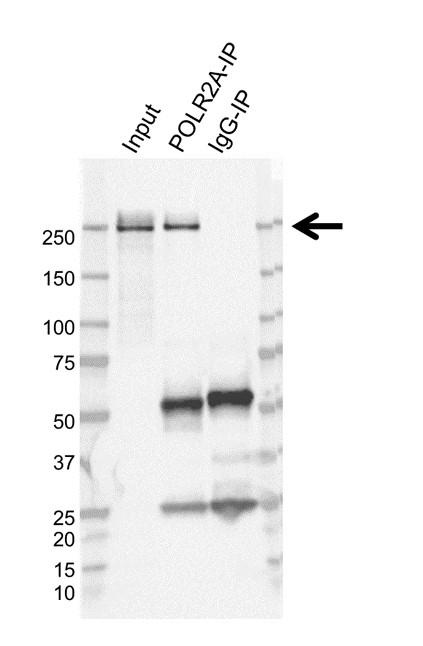 Anti POLR2A Antibody, clone AB01/3D9 (PrecisionAb Monoclonal Antibody) thumbnail image 2