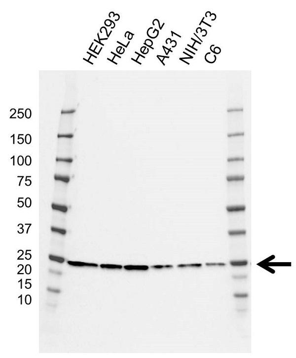 Anti POLR2E Antibody, clone CD01/1F2 (PrecisionAb Monoclonal Antibody) gallery image 1
