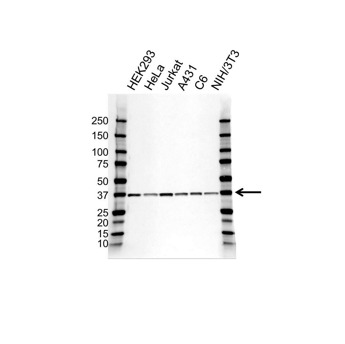 Anti PP1 Alpha Antibody, clone OTI6E5 (PrecisionAb™ Monoclonal Antibody) gallery image 1
