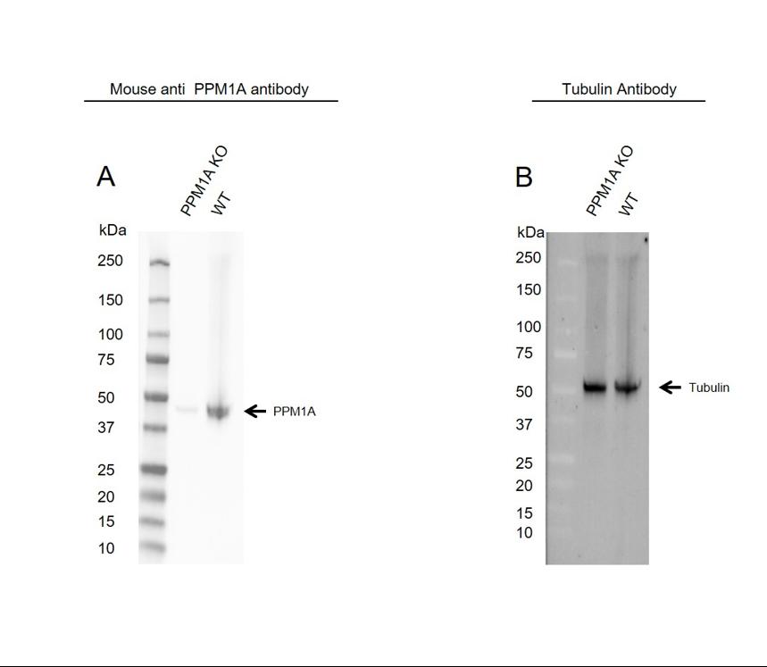 Anti PPM1A Antibody, clone 7F12 (PrecisionAb Monoclonal Antibody) thumbnail image 2