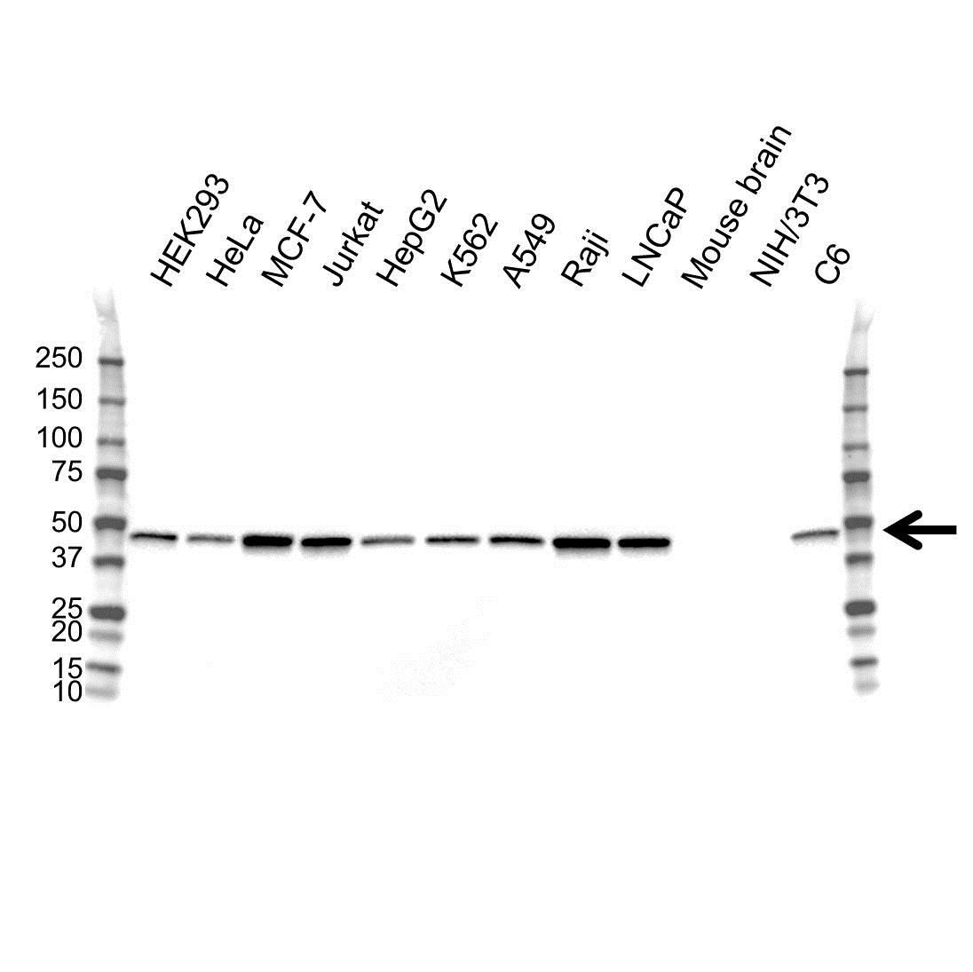 Anti PPM1A Antibody (PrecisionAb™ Monoclonal Antibody) gallery image 1
