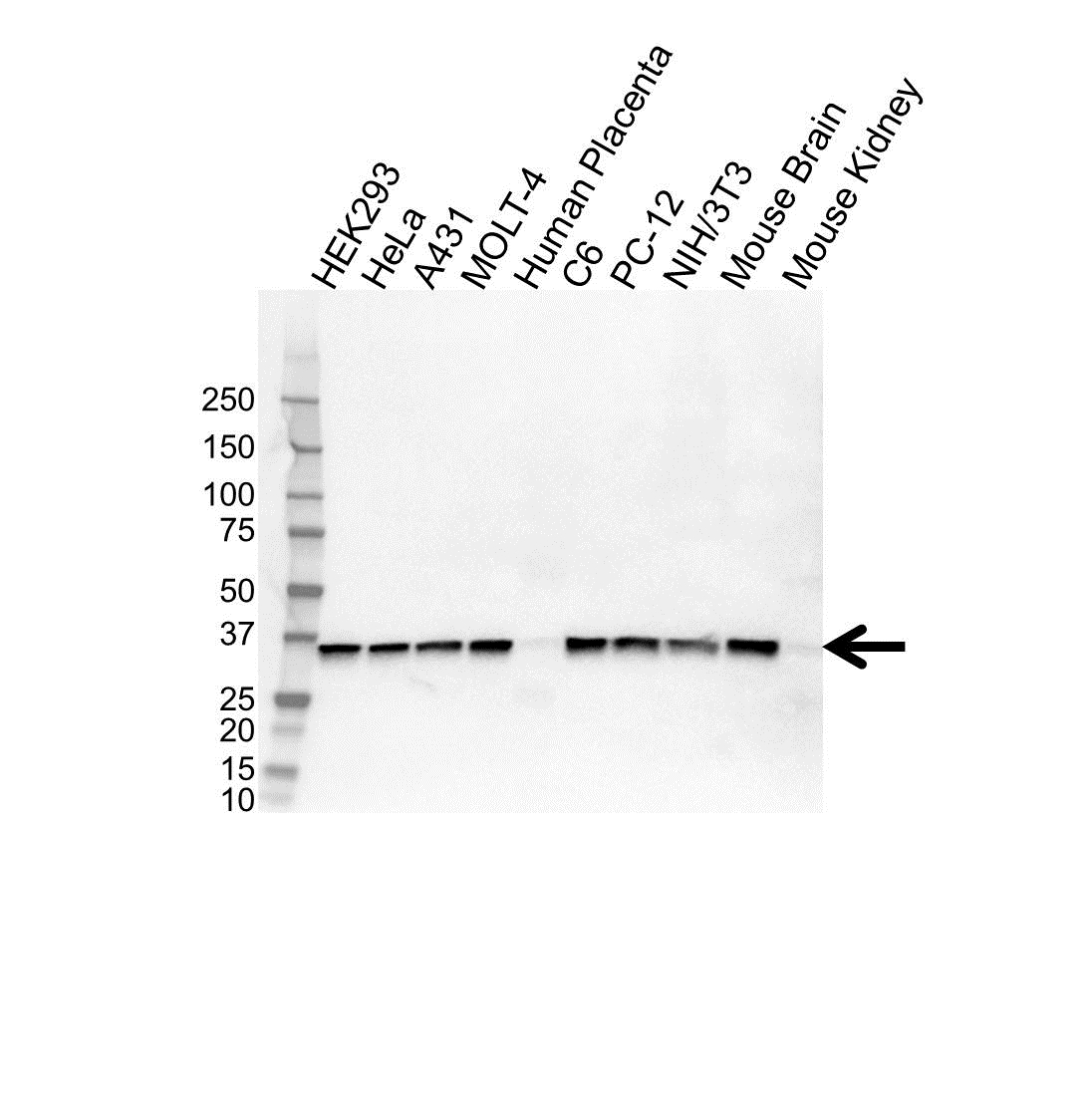 Anti PPP2CA Antibody (PrecisionAb Monoclonal Antibody) gallery image 1