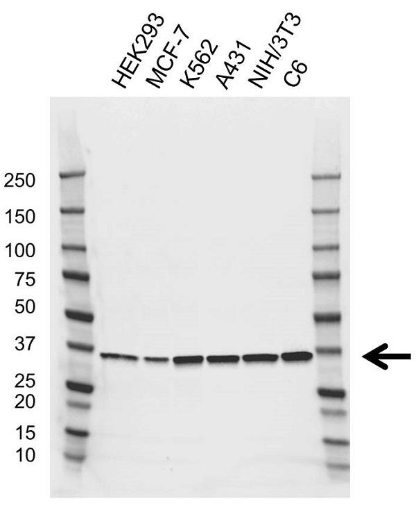 Anti PPP2CB Antibody, clone AB02/4B4 (PrecisionAb Monoclonal Antibody) gallery image 1