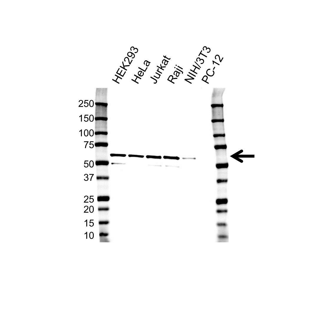 Anti PPP5C Antibody, clone OTI5G5 (PrecisionAb Monoclonal Antibody) gallery image 1