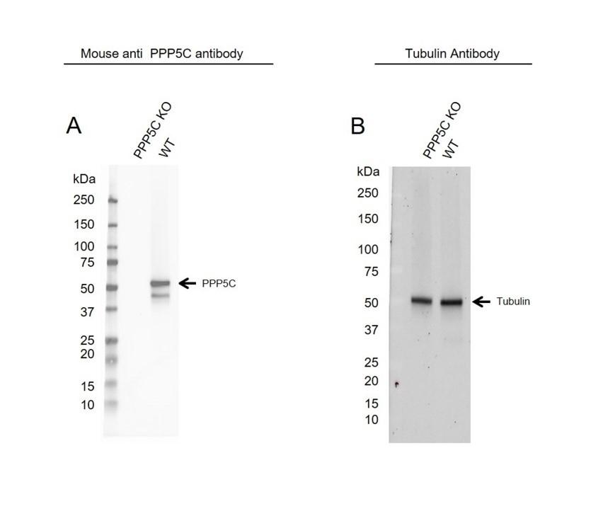 Anti PPP5C Antibody, clone OTI5G5 (PrecisionAb Monoclonal Antibody) thumbnail image 2