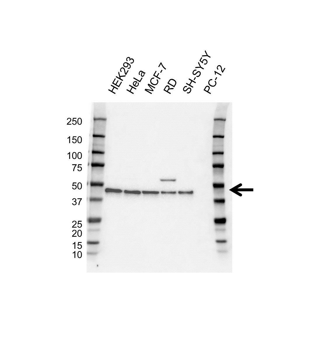 Anti PRAS40 Antibody (PrecisionAb™ Monoclonal Antibody) gallery image 1