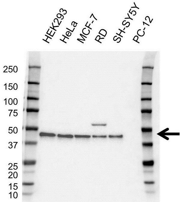 Anti PRAS40 Antibody (PrecisionAb Monoclonal Antibody) gallery image 1