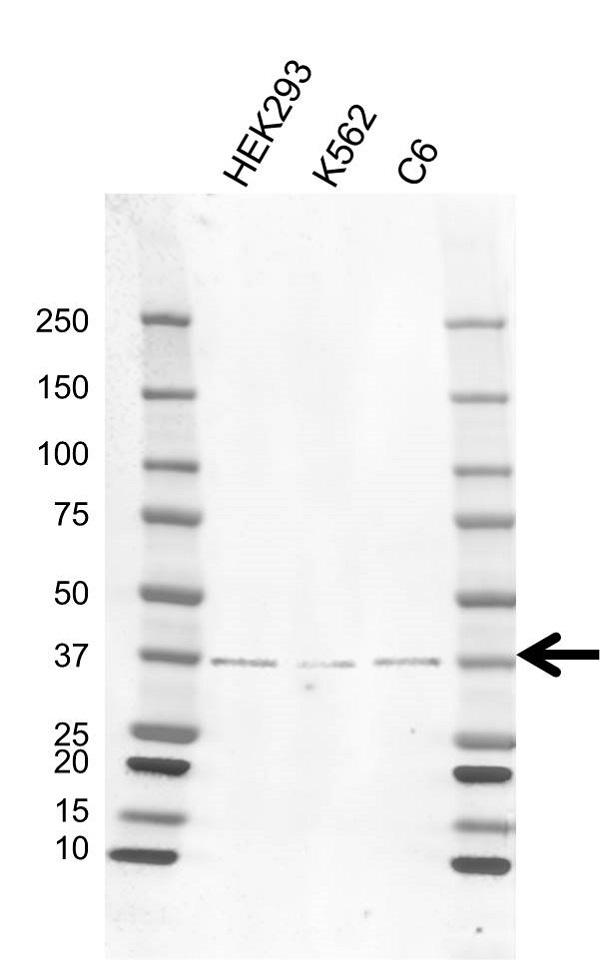 Anti PRKAB1 Antibody, clone K02/3D4 (PrecisionAb Monoclonal Antibody) gallery image 1