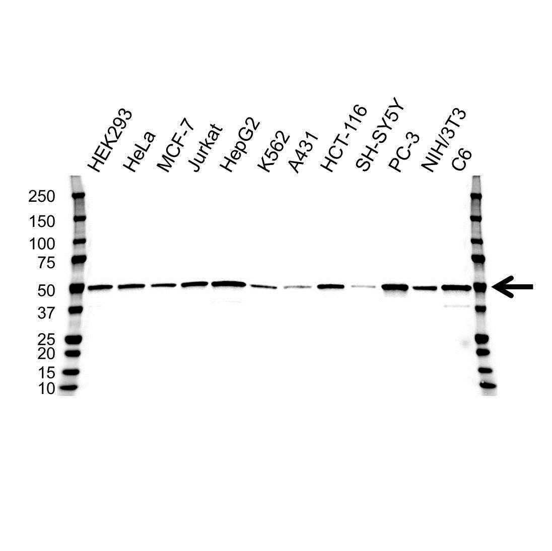 Anti PRKAR1A Antibody, clone OTI6C7 (PrecisionAb Monoclonal Antibody) gallery image 1