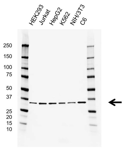 Anti Prkra Antibody, clone AB01/1C8 (PrecisionAb Monoclonal Antibody) thumbnail image 1