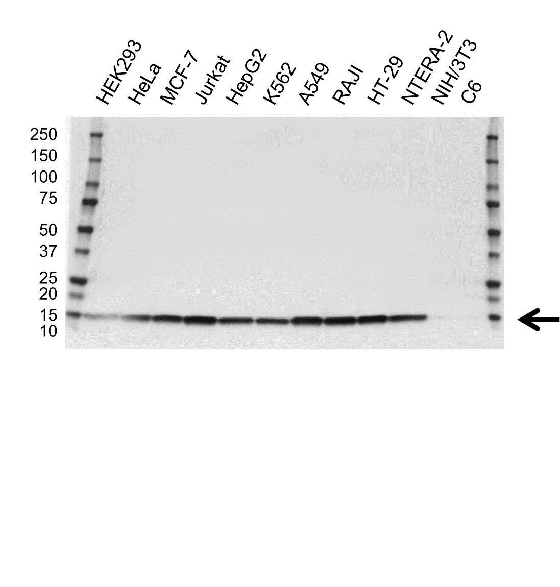 Anti PROFILIN-1 Antibody, clone OTI1D5 (PrecisionAb™ Monoclonal Antibody) gallery image 1
