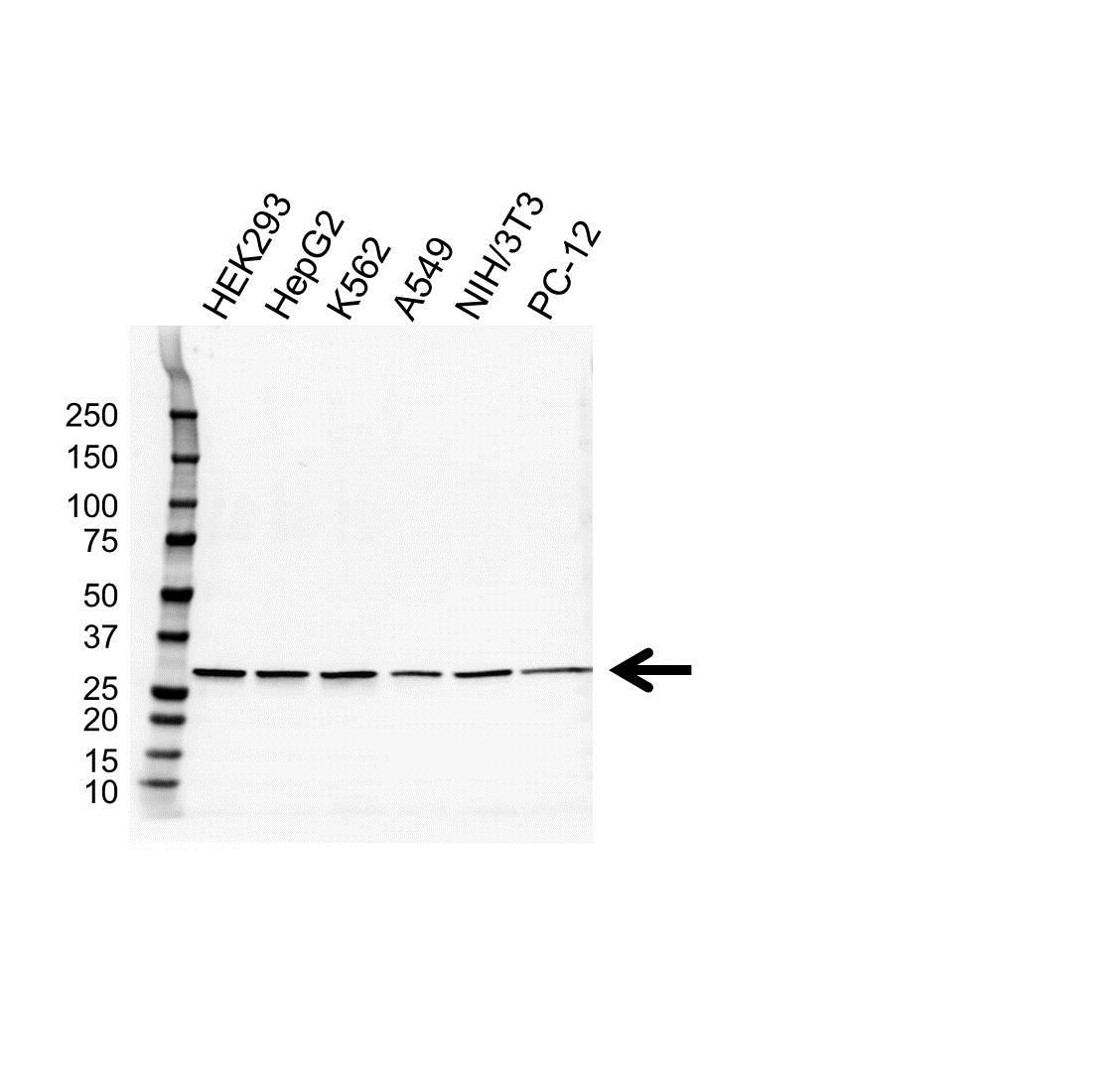 Anti Prohibitin Antibody (PrecisionAb Monoclonal Antibody) gallery image 1