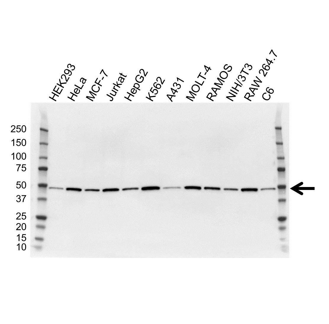 Anti Proliferation Associated Protein 2G4 Antibody, clone OTI1D3 (PrecisionAb Monoclonal Antibody) gallery image 1