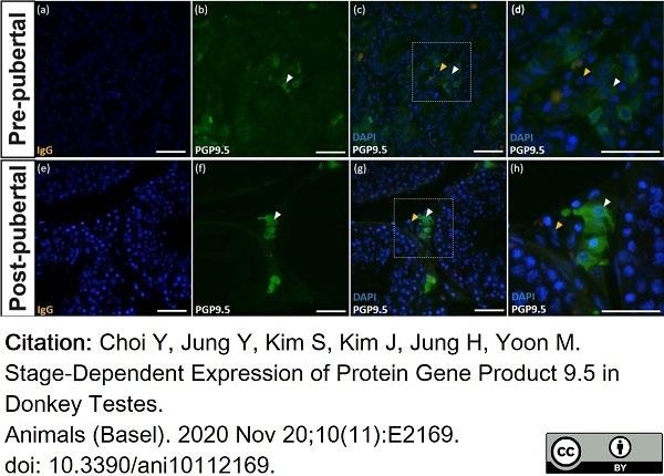 Anti Human Protein Gene Product 9.5 Antibody, clone 13C4 thumbnail image 4
