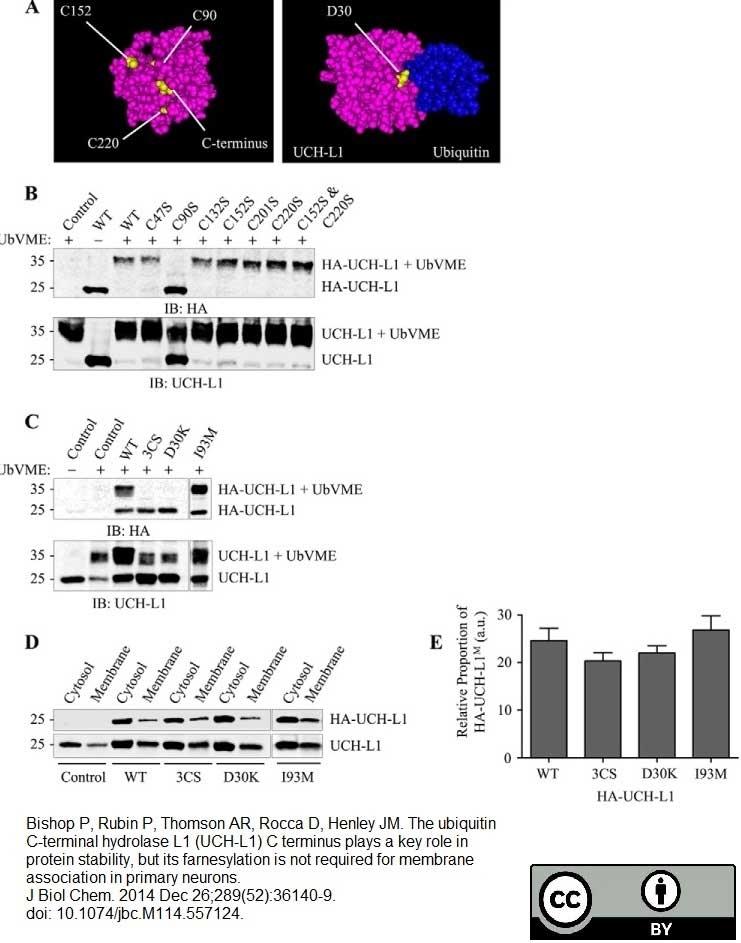 Anti Human Protein Gene Product 9.5 Antibody, clone 31A3 thumbnail image 3