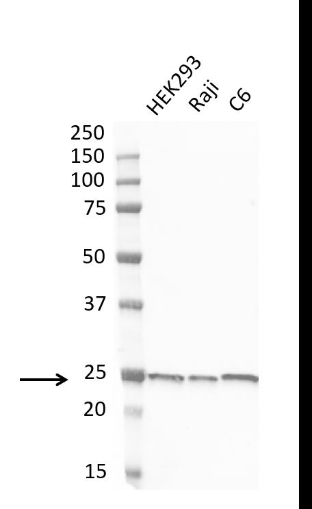 Anti Protein Gene Product 9.5 Antibody, clone 31A3 (PrecisionAb Monoclonal Antibody) thumbnail image 4