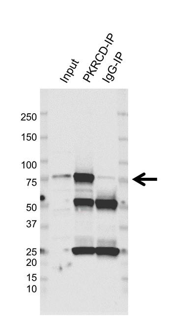 Anti Protein Kinase C Delta Antibody, clone E-J01/1C2 (PrecisionAb Monoclonal Antibody) thumbnail image 2