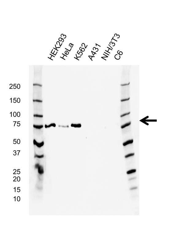 Anti Protein Kinase C zeta Antibody, clone AB02/3G7 (PrecisionAb™ Monoclonal Antibody) gallery image 1