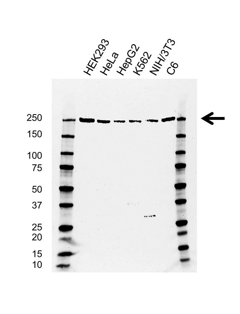Anti PRPF8 Antibody, clone AB01/4B2 (PrecisionAb™ Monoclonal Antibody) gallery image 1
