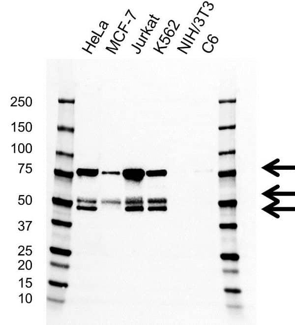 Anti PSIP1 Antibody, clone AB01/1A2 (PrecisionAb Monoclonal Antibody) gallery image 1