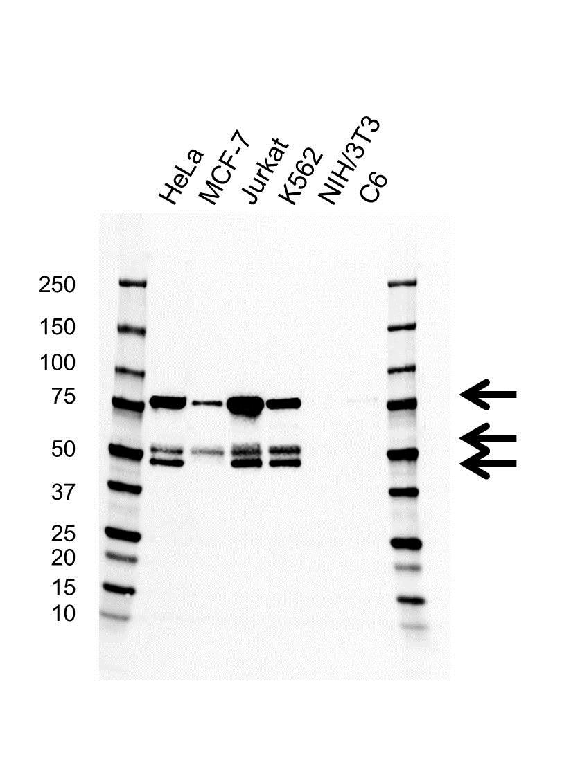 Anti PSIP1 Antibody, clone AB01/1A2 (PrecisionAb™ Monoclonal Antibody) gallery image 1