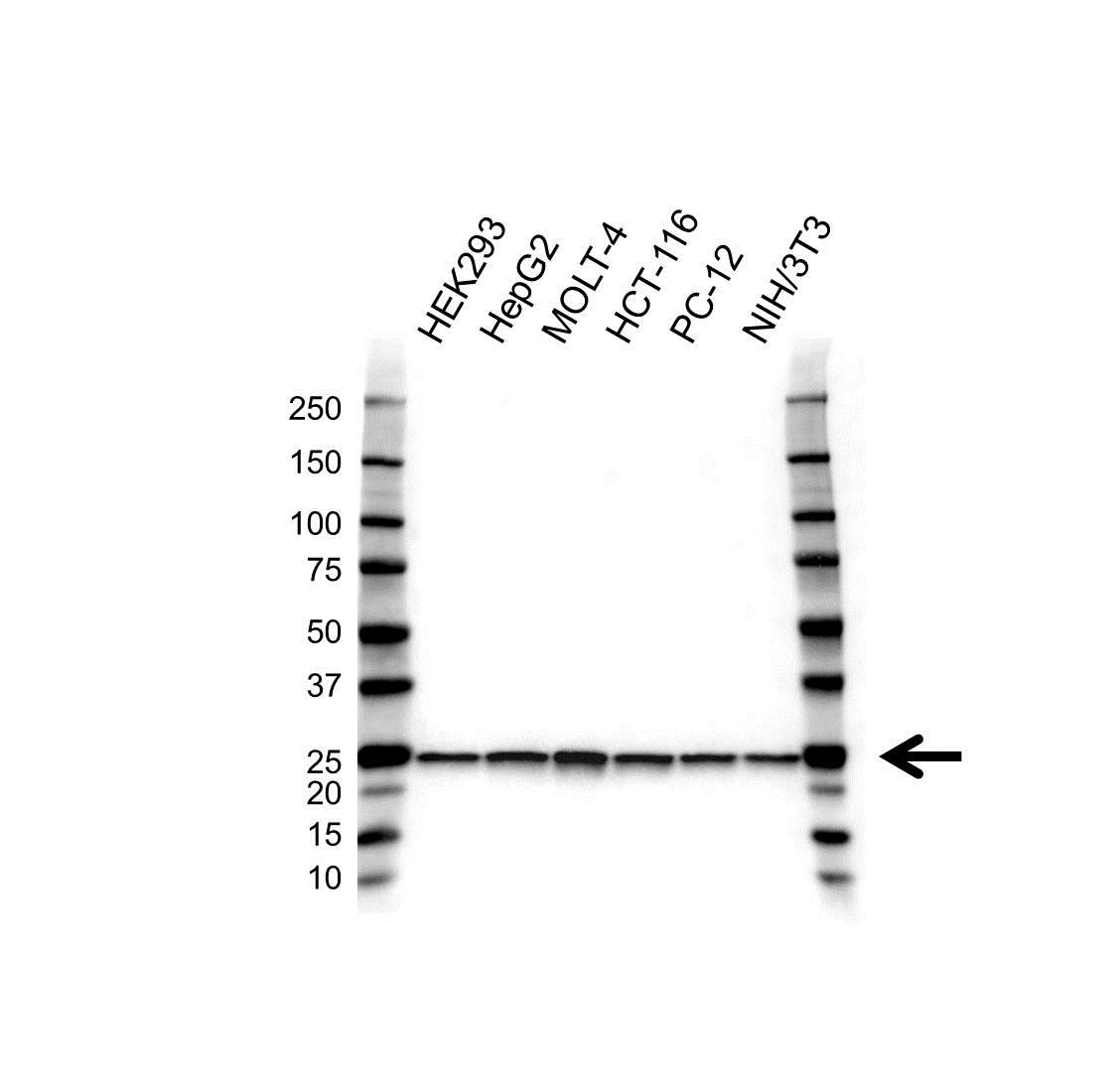 Anti PSMA2 Antibody, clone 4D12 (PrecisionAb™ Monoclonal Antibody) gallery image 1
