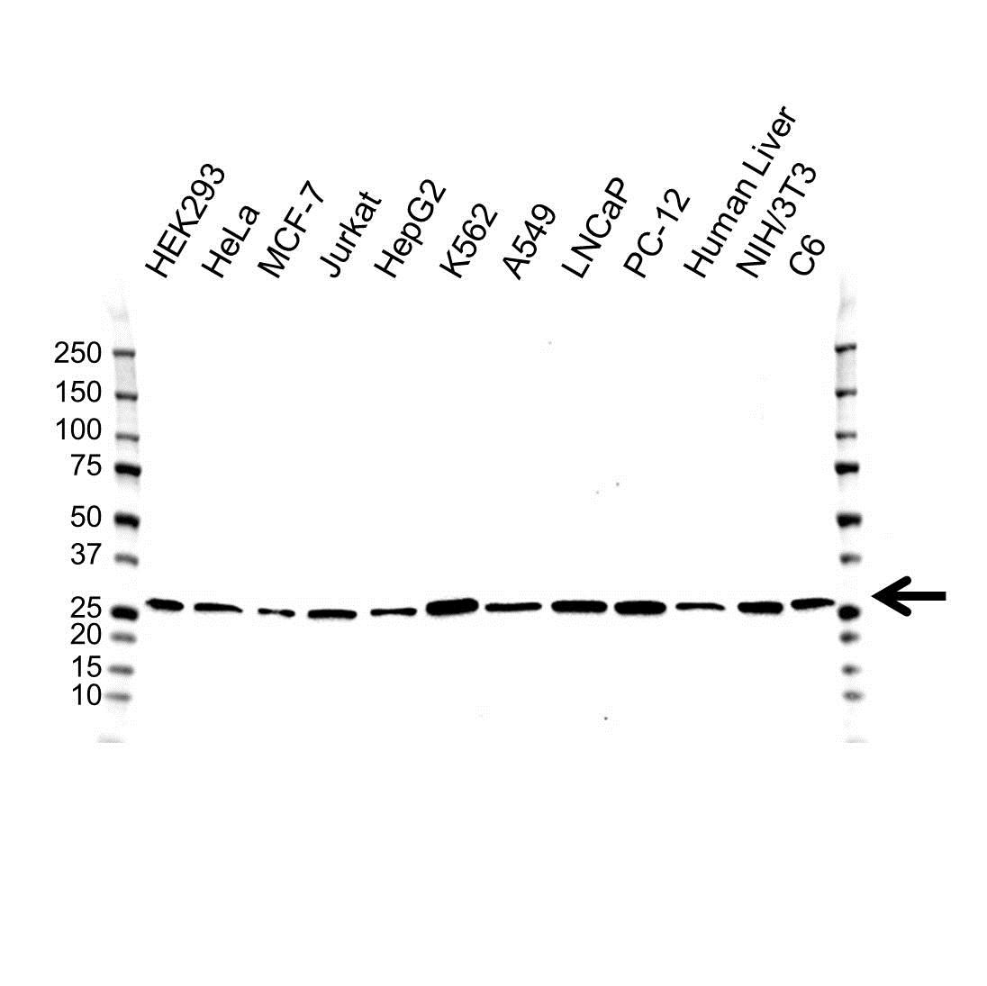 Anti PSMA5 Antibody (PrecisionAb Monoclonal Antibody) gallery image 1
