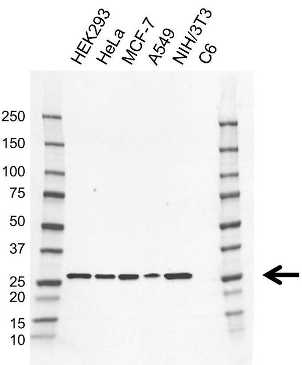 Anti PSMA7 Antibody, clone CD01/4D5 (PrecisionAb Monoclonal Antibody) gallery image 1
