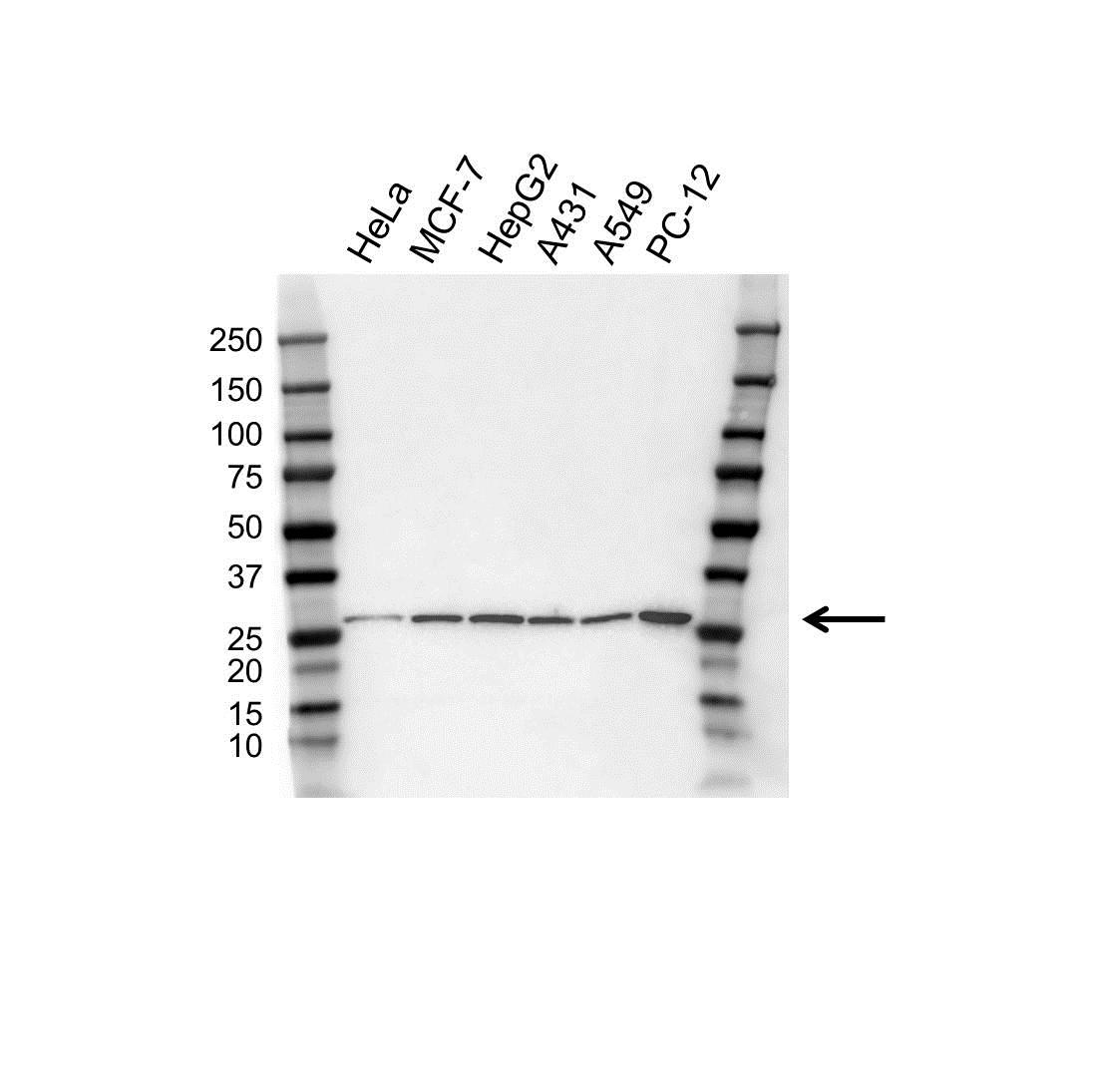 Anti PSMA7 Antibody, clone OTI4A9 (PrecisionAb™ Monoclonal Antibody) gallery image 1