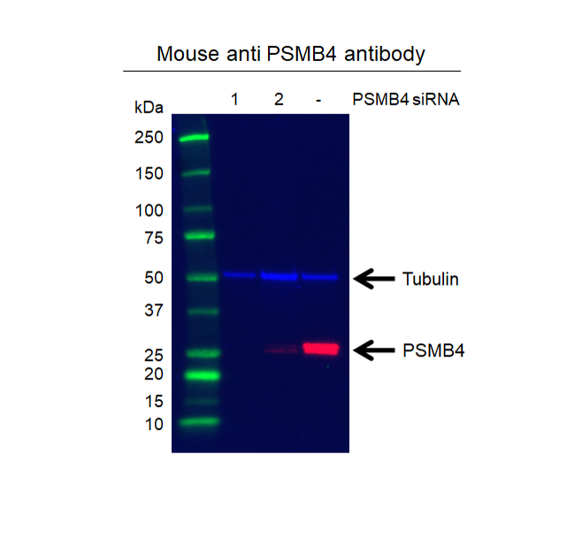 Anti PSMB4 Antibody, clone OTI5B5 (PrecisionAb Monoclonal Antibody) thumbnail image 2
