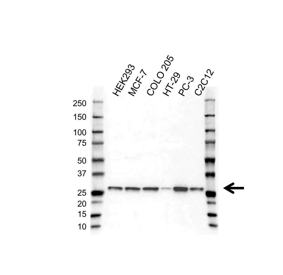 Anti PSMB7 Antibody, clone OTI4G9 (PrecisionAb Monoclonal Antibody) gallery image 1