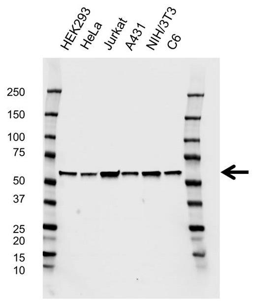 Anti PSMC1 Antibody, clone EF02/2E2 (PrecisionAb Monoclonal Antibody) gallery image 1