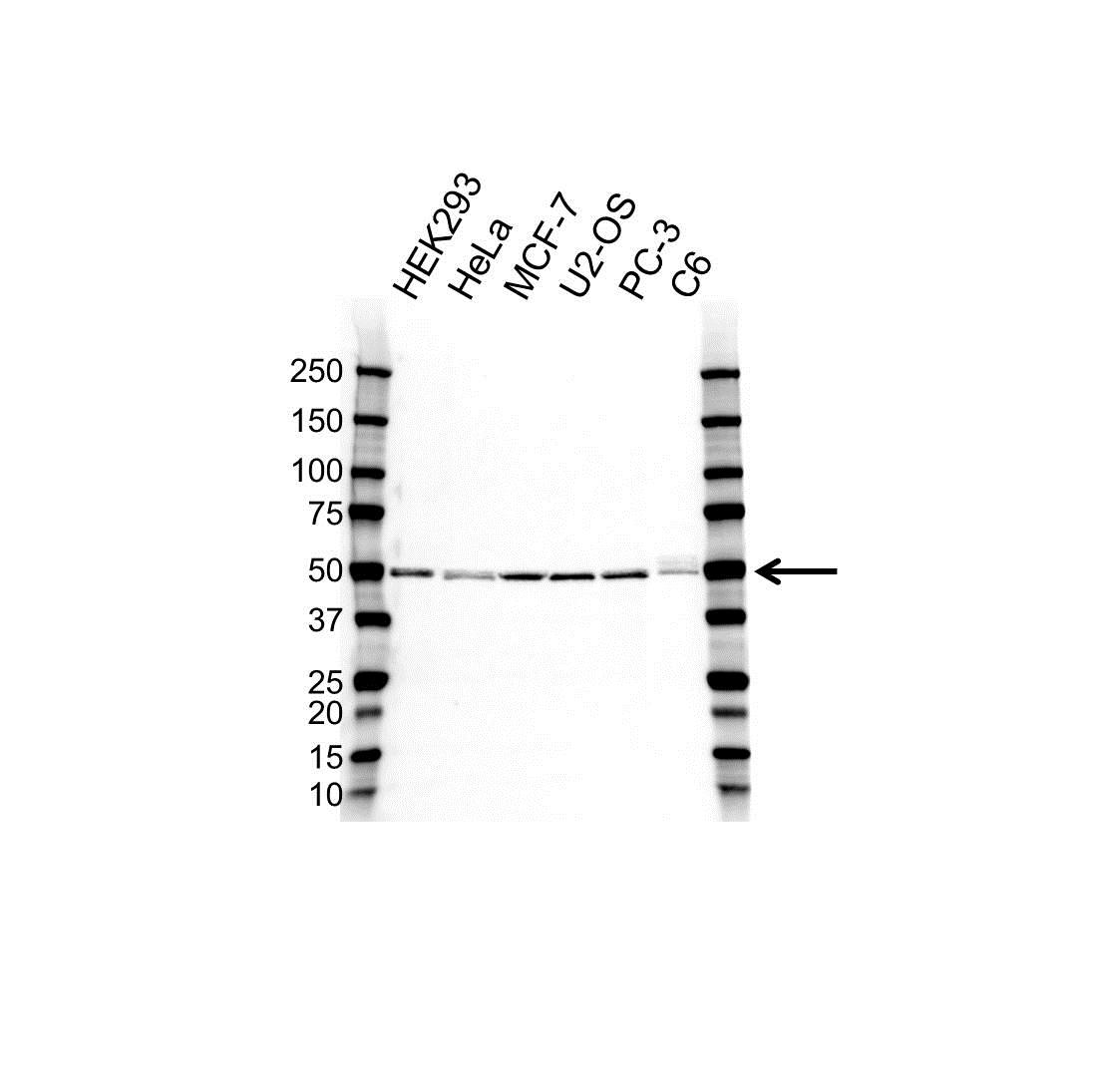 Anti PSMC3 Antibody, clone OTI1C10 (PrecisionAb™ Monoclonal Antibody) gallery image 1