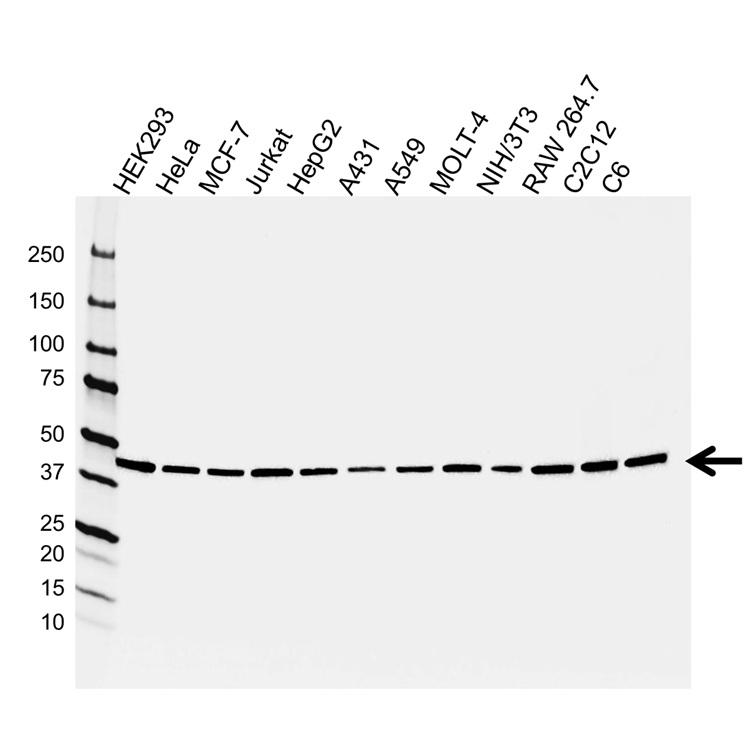 Anti PSMC5 Antibody (PrecisionAb™ Monoclonal Antibody) gallery image 1