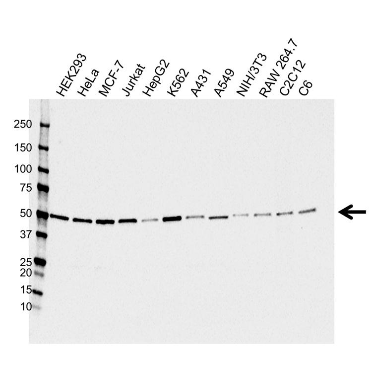 Anti PSMD4 Antibody (PrecisionAb™ Monoclonal Antibody) gallery image 1
