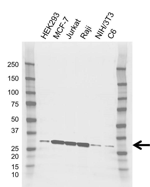 Anti PSME1 Antibody, clone AB02/4C4 (PrecisionAb Monoclonal Antibody) thumbnail image 1