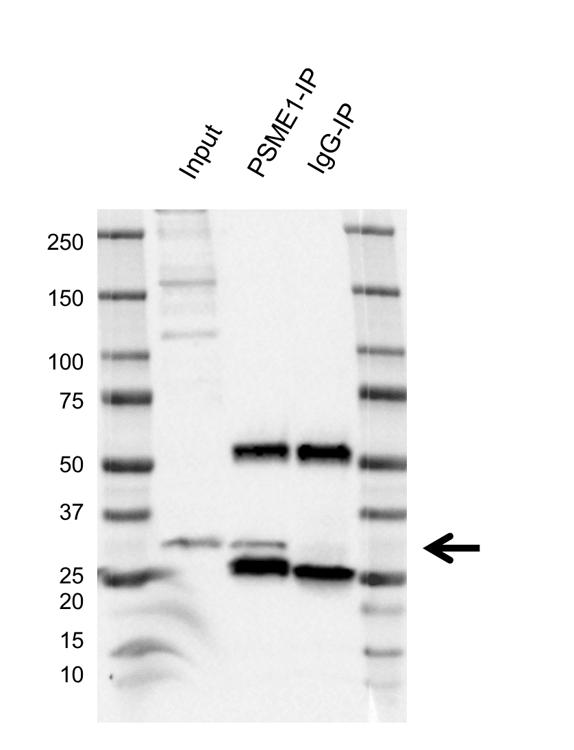Anti PSME1 Antibody, clone AB02/4C4 (PrecisionAb Monoclonal Antibody) thumbnail image 2