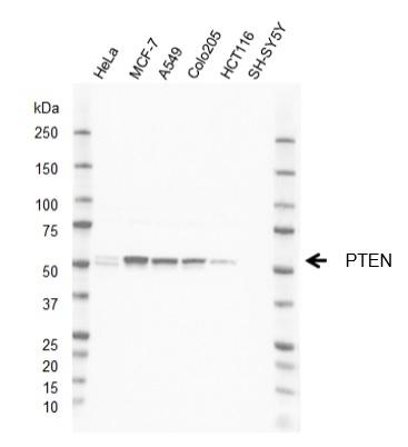 Anti PTEN Antibody, clone AbD38831eg (PrecisionAb Monoclonal Antibody) gallery image 1