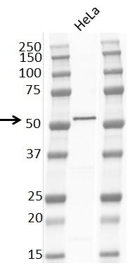 Anti PTEN Tumor Suppressor Protein Antibody, clone RM265 thumbnail image 2