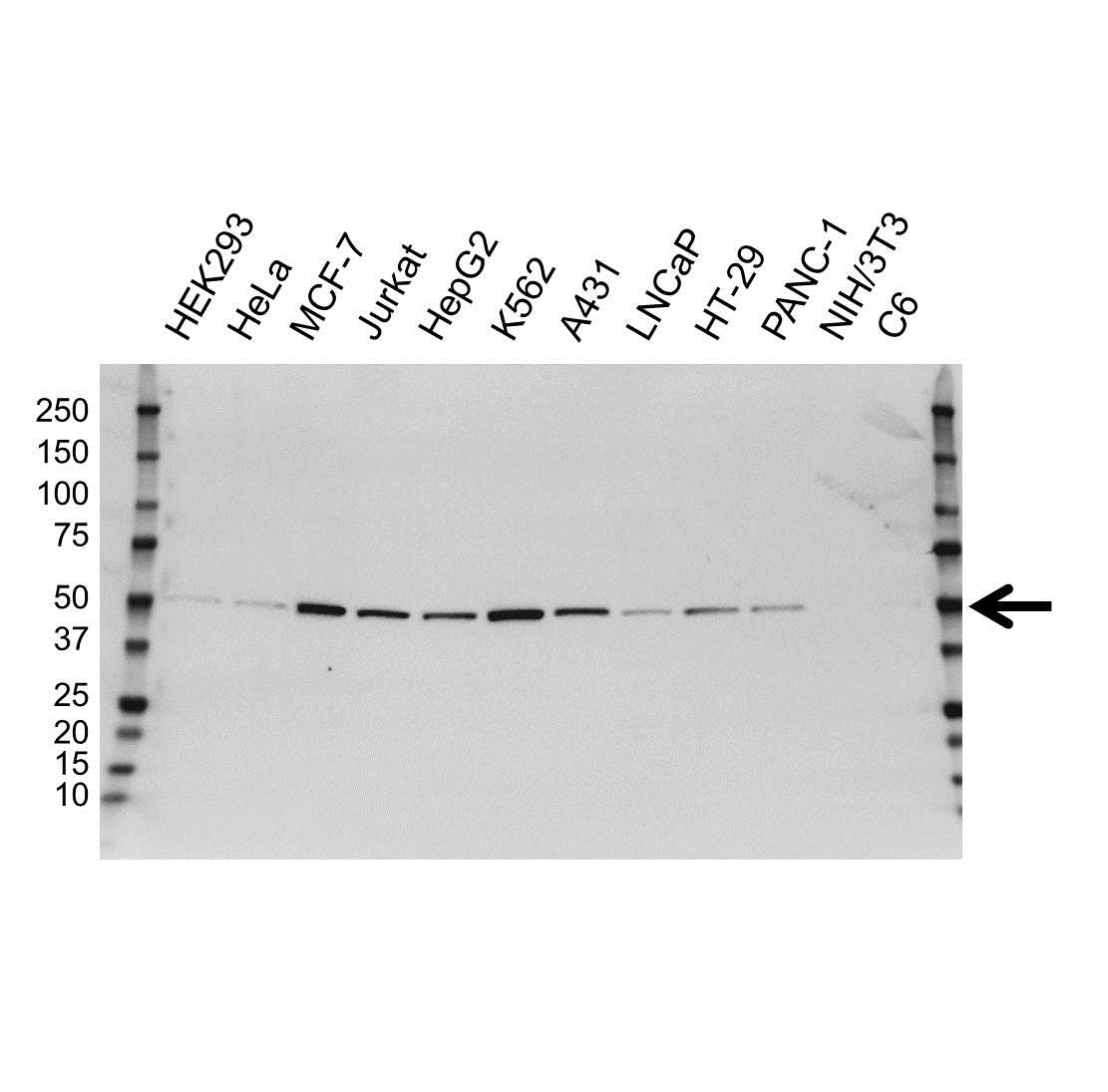 Anti PTPN1 Antibody, clone OTI1B4 (PrecisionAb Monoclonal Antibody) gallery image 1