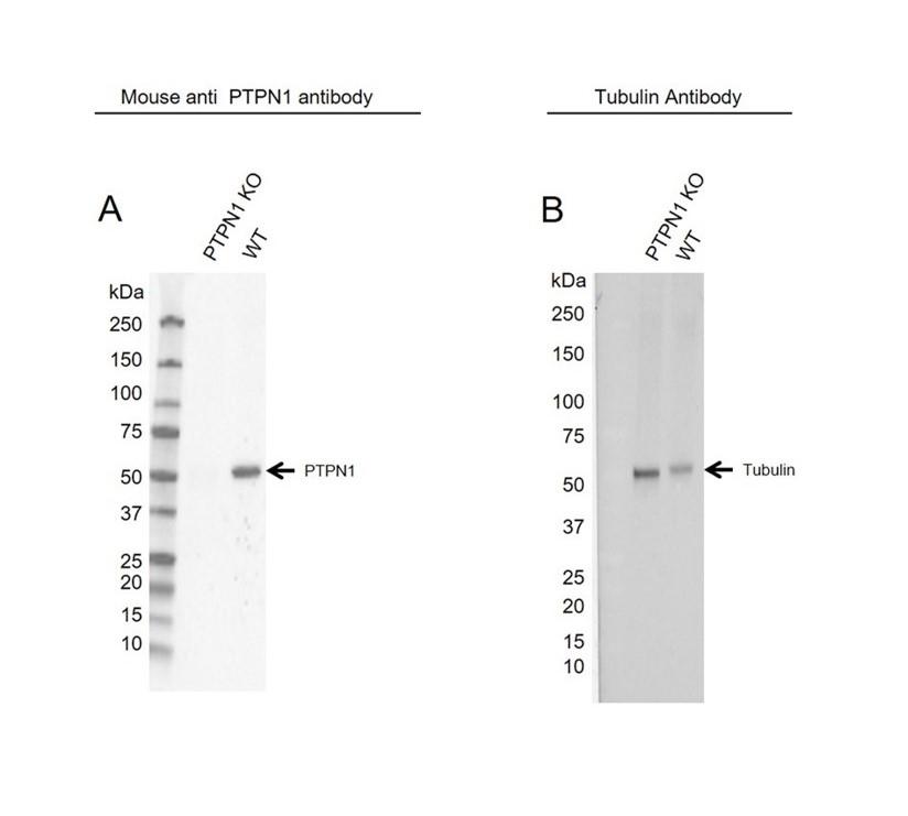 Anti PTPN1 Antibody, clone OTI1B4 (PrecisionAb Monoclonal Antibody) thumbnail image 2