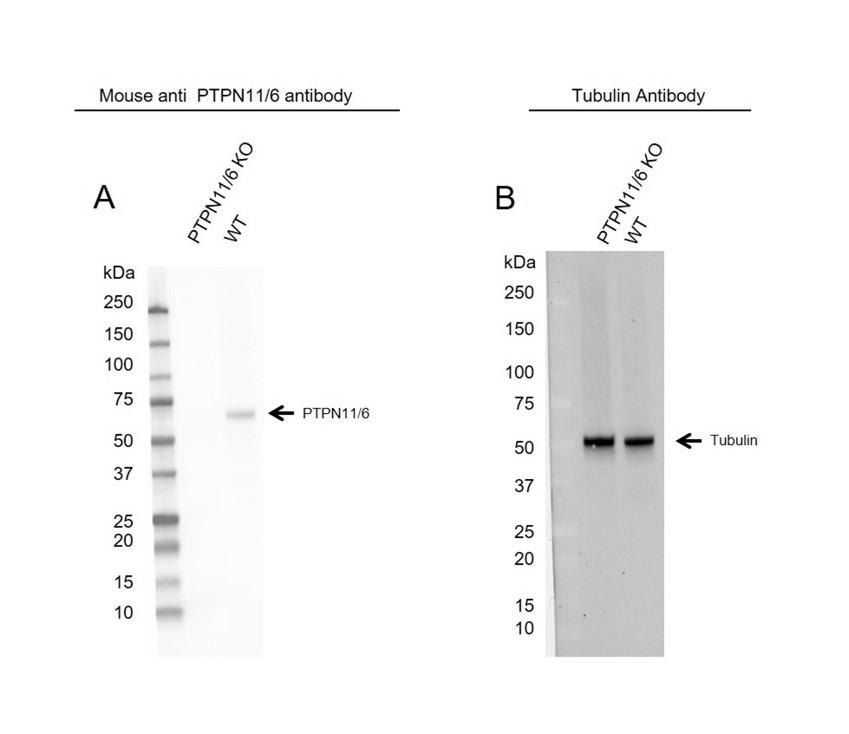 Anti PTPN11/6 Antibody, clone CD01-3E11 (PrecisionAb Monoclonal Antibody) thumbnail image 3