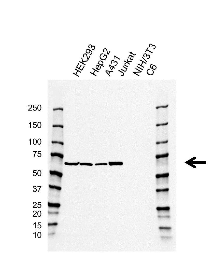 Anti PTPN6 Antibody, clone AB01/4C6-1 (PrecisionAb Monoclonal Antibody) gallery image 1