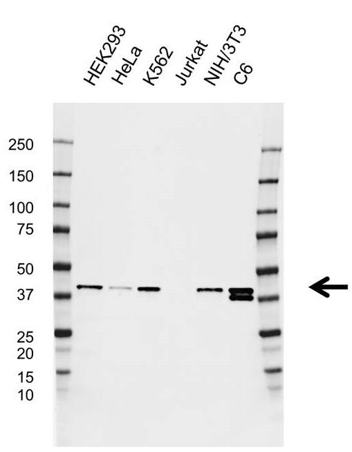 Anti Qki Antibody, clone CD01/1C3 (PrecisionAb Monoclonal Antibody) thumbnail image 1