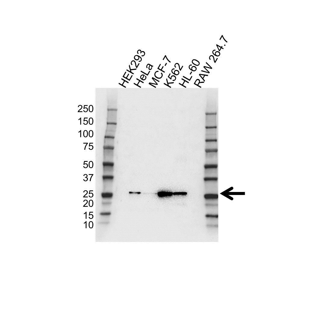 Anti RAB27A Antibody (PrecisionAb™ Monoclonal Antibody) gallery image 1